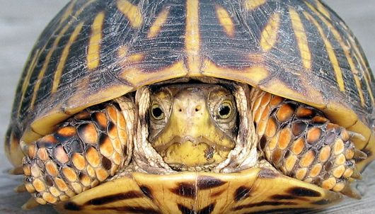 Facts And Anatomy Of Box Turtles Welcome Wildlife For Thor