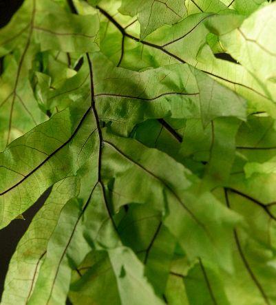 "Transparent Chartreuse Oak Leaves 29"" Branches Natural Preserved  1lb. Bundle $10 (8-10 branches)"