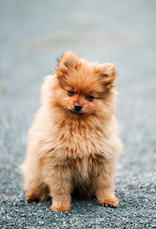 Ils Sont Prêts à Tout : prêts, Spitz, Japonais, Pomeranian, Puppy,, Puppies,, Lovers