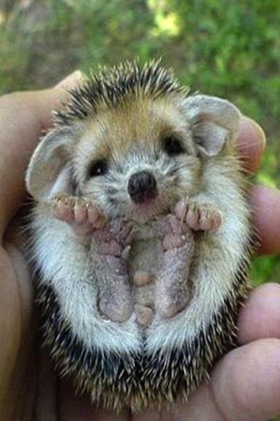 Your daily dosage of cuteness -- Baby Hedgehogs! http://bit.ly/MCsaqJ
