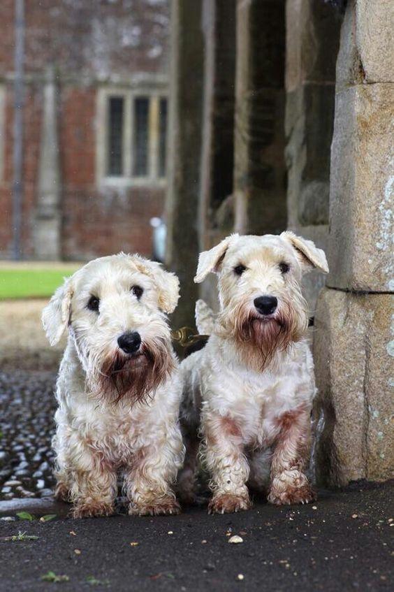 Sealyham Terrier puppy...