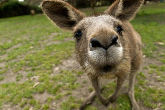I never saw the similarity between donkeys and kangaroos until now.