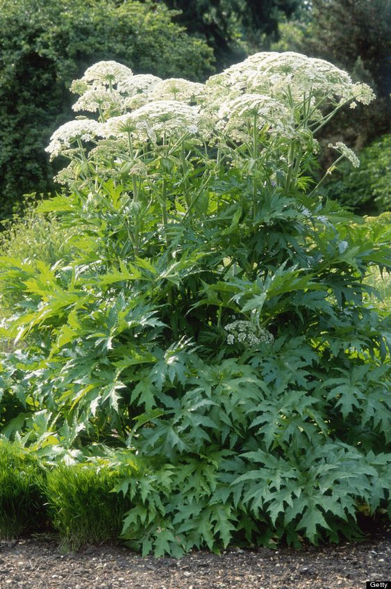 Giant Hogweed Plant Anyone who comes in contact with the plant should wash the affected area of their skin with soap and water and keep out of the sunlight for 48 hours, since the effects develop over several days.