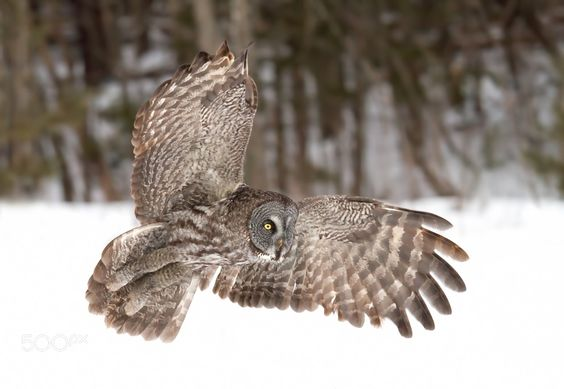 Great grey owl in flight over a snow covered field by JimCumming via http://ift.tt/2e4T8A3