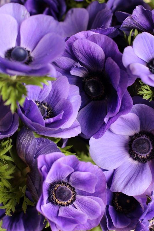 Galilee Blue Anemones Grown At Love N Fresh Flowers Purple Flowers Anemone Flower Purple Plants
