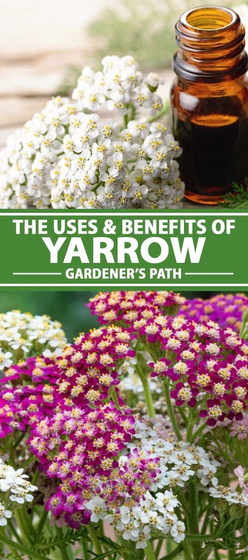 The Uses And Benefits Of Yarrow Gardener S Path In 2020 Yarrow Plant Yarrow Flower Yarrow