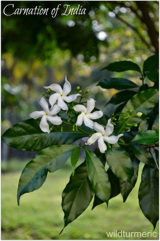Chandni Flower | Nandiyavattai Poo | Carnation of India Uses & Benefits: Cure for Buning Sensation in Eyes