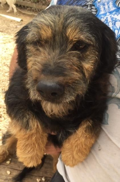 Diesel-Foster Home Needed is an adoptable Wirehaired Terrier searching for a forever family near Hartland, WI. Use Petfinder to find adoptable pets in your area.