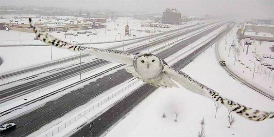Schneeeule macht ein gutes Bild vor der Kamera