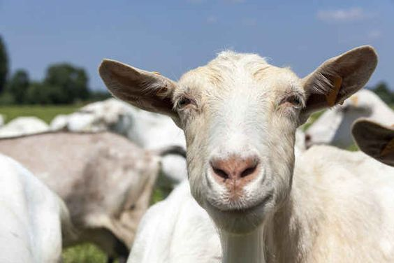 """Look into my eyes. YOU ARE INVINCIBLE."" 21 inspirational quotes from goats."