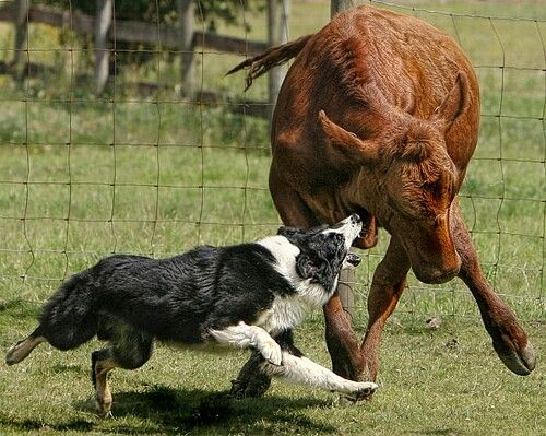Border Collie Working Cattle Like A Pro Working Dogs