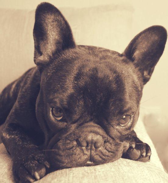 Frenchie French Bulldog Bulldog