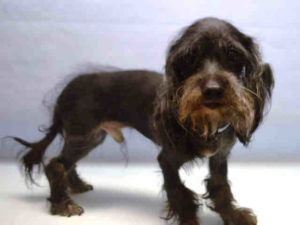 SAFE 9-22-2016 --- SUPER URGENT Manhattan Center KABOOM – A1082394  NEUTERED MALE, BLACK / WHITE, MALTESE / POODLE MIN, 8 yrs OWNER SUR – EVALUATE, NO HOLD Reason MOVE2PRIVA Intake condition UNSPECIFIE Intake Date 09/14/2016, From NY 10032, DueOut Date 09/14/2016,
