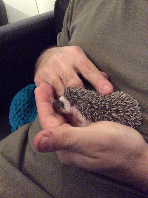 My first baby hedgehog Bornholm 1. January 2015. He is Black algerian.