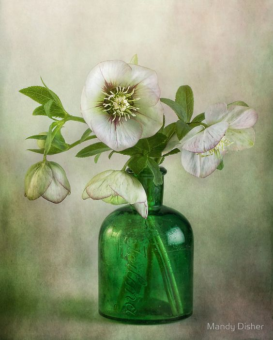 Lenten Rose by Mandy Disher: