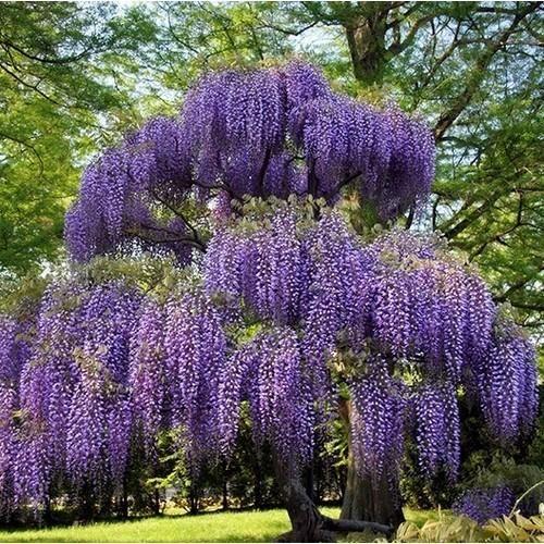 AFRICAN TREE WISTERIA BULK BUY 100 FRESH SEEDS