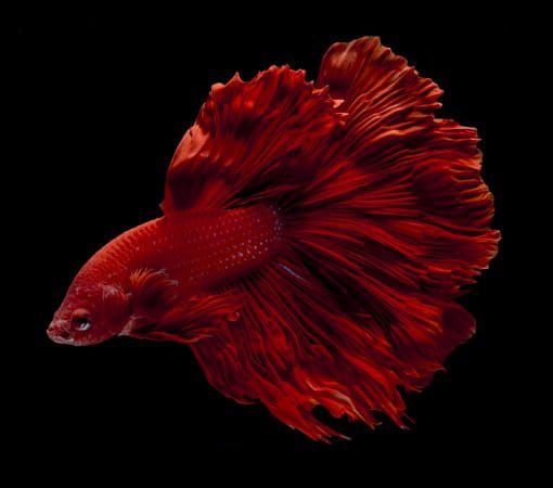 Betta Fish In Red With Black Background Betta Siamese Fighting Fish Fish