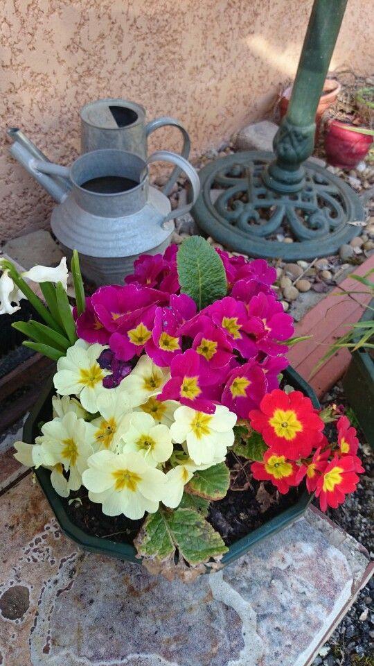 Primevères de mon jardin