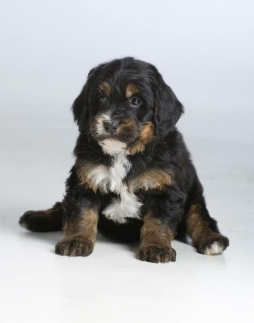 Teddy Bear Bernedoodles In 2020 Teddy Bear Dog Bear Dog Breed Puppies