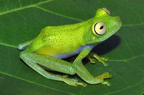Amazônia rã verde - (Hypsiboas liliae) vive perto de bromélias,mas sobem até 15 metros acima do solo.