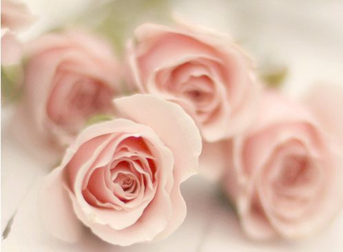 pink hybrid tea roses