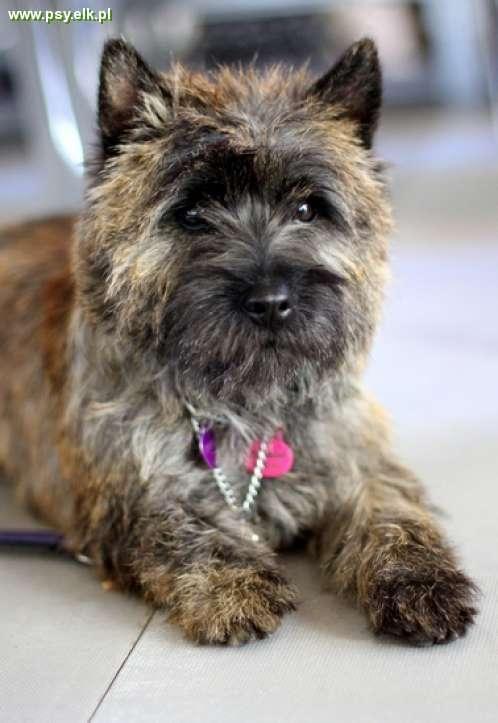 21593 Cairn Terrier Jpg 498 723 Cairn Terrier Puppies Cairn