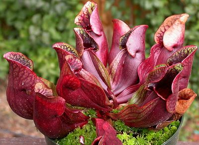 Sarracenia purpurea - native to Michigan, carnivorous. Needs wet, zero-nutrient soil (such as a sand/spaghnum mix) and moderate to low light.  Try growing in a container at the base of a downspout?