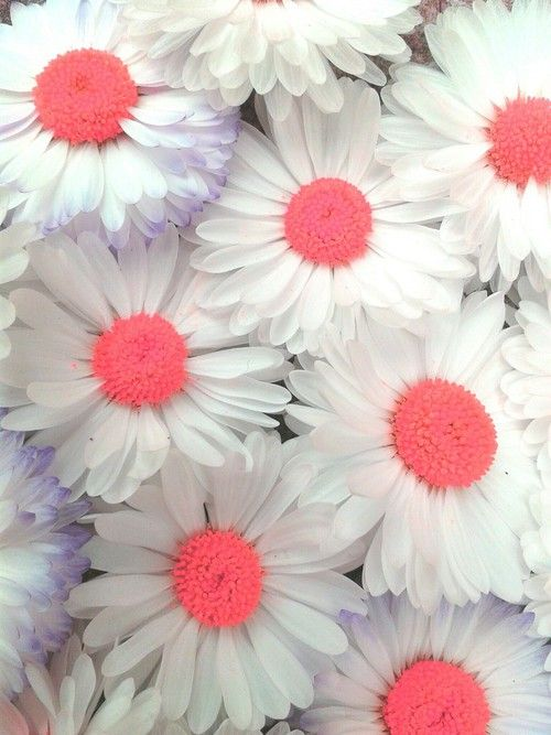 Imagen De Flowers Pink And White Daisy Wallpaper Flower Wallpaper Flower Phone Wallpaper