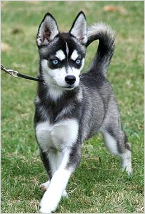 Is Dogs Training Tips What You Need Find The Best Tips By Reading This Post Dogstraining Miniature Husky Alaskan Klee Kai Husky Breeds