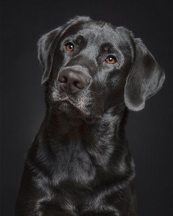 Black Labrador In 2020 Beautiful Dogs