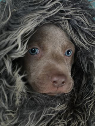 William Wegman:  I love photographing puppies at various stages of their development, but especially love the 5-6 week-ers. They are strong enough to handle and are rather predictable so you can work with them around their daily cycle of sleep-eat-play-sleep. Their eyes are very, very blue at this age. Later they will (typically) turn a yellow amber color.