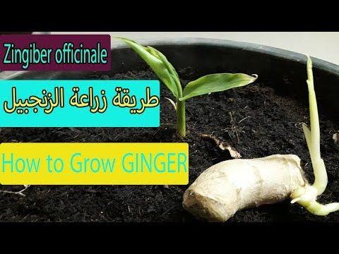 طريقة زراعة الزنجبيل How To Grow Ginger Youtube Growing Ginger Ginger Growing