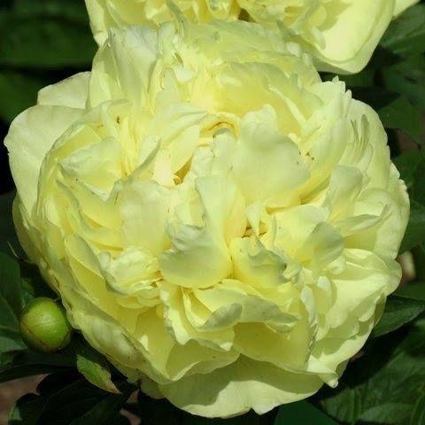 'Lemon Chiffon' a rare cultivar