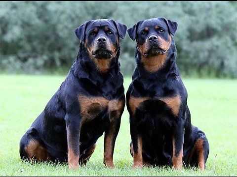 Contest Rottweiler Dog Best Of Breed The Most Interesting Is