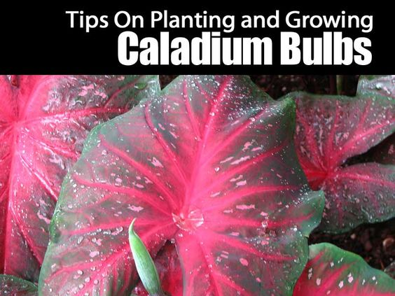 The fancy-leaved Caladium plant, natives of tropical America, have been grown in greenhouses and gardens in the warmer parts of this country for many years. Anyone who can provide warm growing conditions, rich soil, and water need not hesitate to try caladiums. Dormant tubers are... #spr #sum