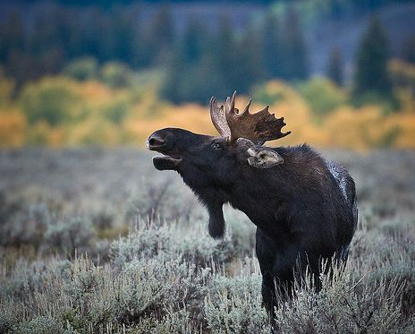 moose by holland