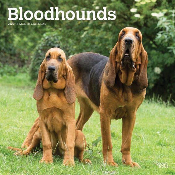 Bloodhounds 2020 Wall Calendar Dog Breeds Bloodhound Pet Dogs