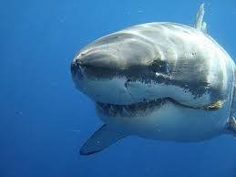 Resultado de imagen de tiburon blanco