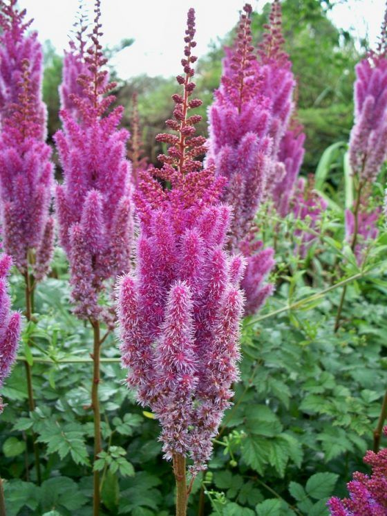Astilbe Colors The Stars Of A Shade Garden Flowers Perennials Shade Plants Shade Flowers Perennial