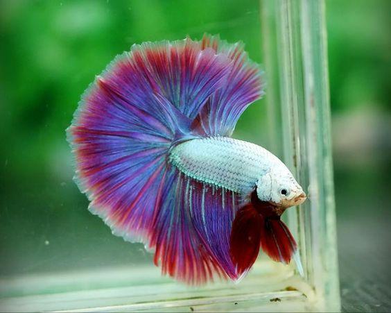 Betta fish salamanders and dragon on pinterest for Purple betta fish for sale