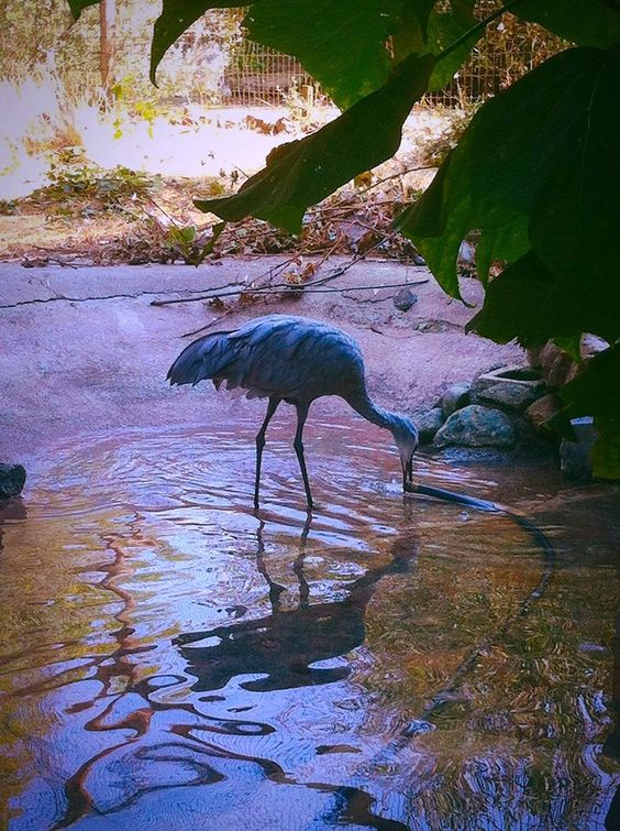 Pictured is Niles playing with the hose while his pond is filling up! When you're out for a tour, make sure to say 'hi' to Niles and his best friend Daphne, our resident Sandhill Cranes.