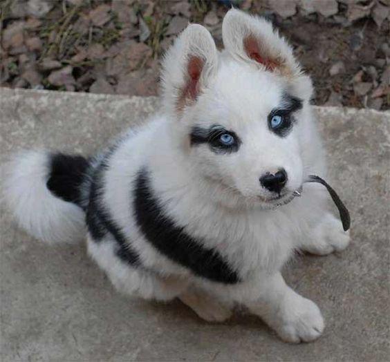 Cute baby husky puppy