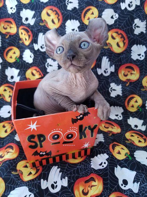 Nocoatkitty Sphynx Kitten Hairless Kitten Sphynx Kittens For Sale Bambino Cat