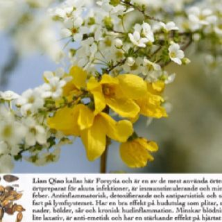 Lian Qiao - Clears heat toxin, and shrinks swelling: used to treat sore swollen throat, lung abscess, intestinal abscess, hot sores that have not burst, boils, scrofula, and carbuncles.