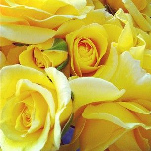 Yellow Roses Freshly Picked~