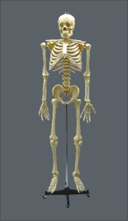 Esqueleto com Rodas