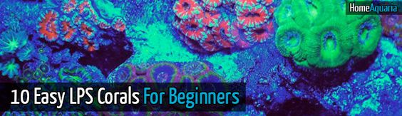 10 easy lps corals for reef tank beginners home aquaria for Saltwater fish tanks for beginners