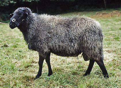 Rauwolliges Pommersches Landschaf - Ein Herz für Tiere