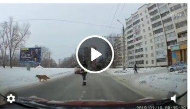 Uma linda atitude, guarda para trânsito para cachorro atravessar