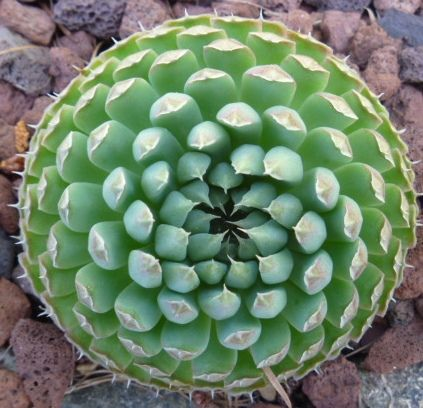 My all time favorite rare hardy succulent, Orostachys spinosa is truly unusual.  The color, which reminds me of semi transparent celadon porcelain, is like a glacier.  The funny spiky foliage is fascinating, and ever changing over the season.: